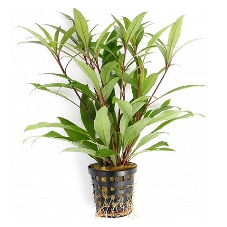Hygrophila corymbosa 'Thailand' Pot