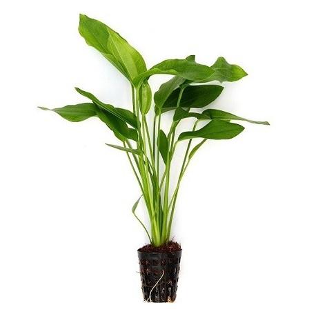 Echinodorus argentinensis Pot