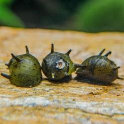 Green Horn nerite snails 1-2cm