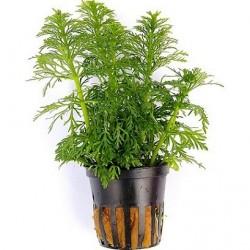 Limnophila sessiflora Pot